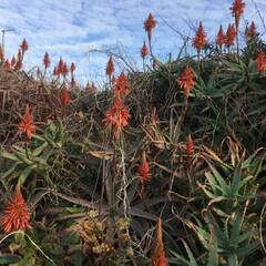 多肉植物/あけおめ/フォロー大歓迎/冬/年末年始/おでかけ/... キダチアロエ公園 見ているだけで癒されて…