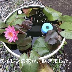 うちわサボテン/季節の野菜/メダカの水槽/スイレンの花 おはようございます。暑い😵💦ですね。 暑…