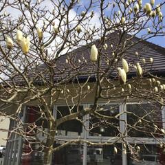 モクレン/道の駅/あんこ入り餅/LIMIAおでかけ部/フォロー大歓迎/はじめてフォト投稿/... モクレンは、つぼみが、初々しくて綺麗です…
