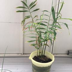 やればできる/自然の恵み/素人/バケツ栽培/生姜/ベランダ栽培/... ベランダで生姜を育てる! 何気なく始めた…