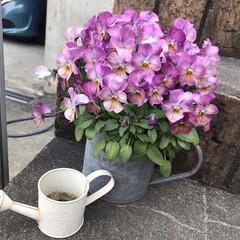 ガーデニング/花のある暮らし/ガーデン雑貨/ガーデニング雑貨/LIMIAガーデニング部/うちのガーデニング 何か目線を感じると思ったら、うちのビオラ…(1枚目)