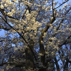 お花 家族で夜桜を見に行ってきました🌸  今日…(1枚目)