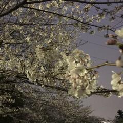 お花 家族で夜桜を見に行ってきました🌸  今日…(3枚目)