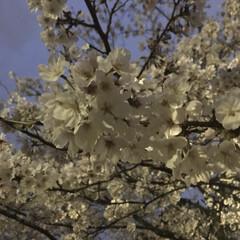 お花 家族で夜桜を見に行ってきました🌸  今日…(2枚目)