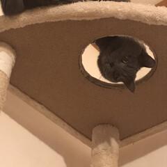 猫のいる暮らし/猫とインテリア/にゃんこ同好会/LIMIAペット同好会/ねこと暮らすお部屋 「ん?何か用?」 キャットタワーから、の…(2枚目)