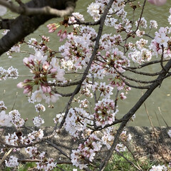 さくら桜 (2枚目)