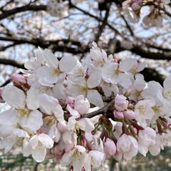 さくら桜 (1枚目)