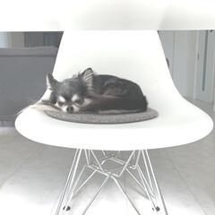 モノトーン/モノトーンインテリア/インテリア/いす/ダイニング/ちわわ部/... 居ないと思ったらダイニングの椅子で眠るリ…