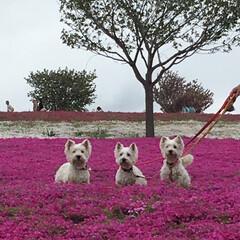 春のフォト投稿キャンペーン/はじめてフォト投稿 #芝桜 #ウェスティ