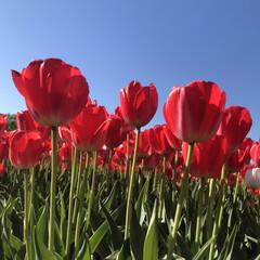 チューリップ/こどもと暮らす/GW/おでかけ/旅行/風景/... ピンクとか紫とか フリフリのとか、スンと…