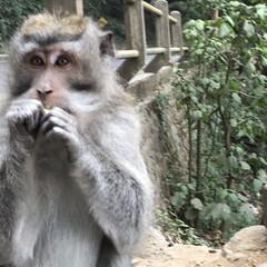 バリ/おさる/自然/海外旅行/旅行/わたしのお盆 バリの山の中にいた野生のおさるさん かご…