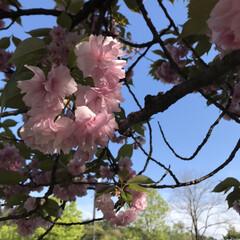 公園/こどもと暮らす/八重桜/GW/旅行/風景/... もう1枚桜の写真🤳 桜って見れると嬉しく…