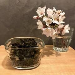 ふきのとう味噌/ふきのとうみそ/桜/春の食材/暮らし ふきのとう、天ぷらにしてもしても余るから…