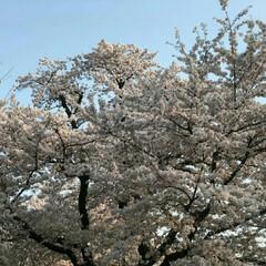 お花見ピクニック/風景 毎年恒例になりつつある、学生時代からの友…