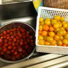 「今年も家庭菜園で、トマトが、たくさん! 」(1枚目)