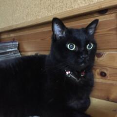 「先月、黒猫べあの右手中指が腫れ、獣医さん…」(2枚目)