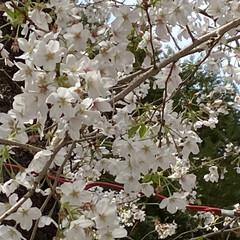 「桜に誘われて、(なんと!)初詣💦 コロナ…」(3枚目)