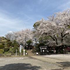 「桜に誘われて、(なんと!)初詣💦 コロナ…」(1枚目)