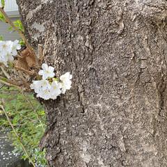 「桜に誘われて、(なんと!)初詣💦 コロナ…」(2枚目)