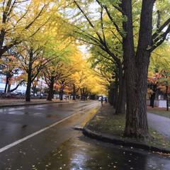 寒い/イチョウ並木/雨/秋