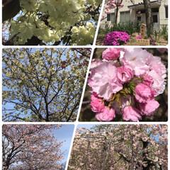 八重桜/造幣局の花のとおりみち🌸/春のフォト投稿キャンペーン/春/おでかけ/風景/... 造幣局の花のとおりみちに行ってきました🌸…(3枚目)