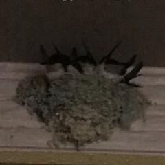 ツバメ 🐥達が大っきくなって巣に収まりきれなくな…