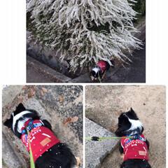 ユキヤナギ/空🐶/朝の散歩/LIMIAペット同好会/ペット/犬/... おはようございます😊  今朝の散歩道、ユ…