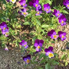 庭の花/サクランボ🍒/トマト🍅茄子🍆ピーマン、キュウリの苗/春のフォト投稿キャンペーン/わたしのGW 隣のお庭に植えた、トマト🍅茄子🍆ピーマン…(3枚目)