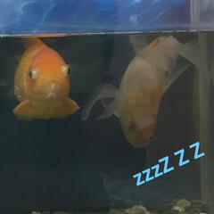 寝てる金魚/金魚/ペット/ペット仲間募集 8年も飼ってる金魚🐡 赤い金魚は泳いでい…