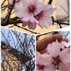 アーモンドの花/小さい春 アーモンドの花が咲きました🌸  花は桜の…