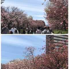 八重桜/造幣局の花のとおりみち🌸/春のフォト投稿キャンペーン/春/おでかけ/風景/... 造幣局の花のとおりみちに行ってきました🌸…(4枚目)
