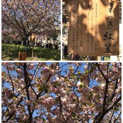 八重桜/造幣局の花のとおりみち🌸/春のフォト投稿キャンペーン/春/おでかけ/風景/... 造幣局の花のとおりみちに行ってきました🌸…(2枚目)
