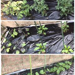庭の花/サクランボ🍒/トマト🍅茄子🍆ピーマン、キュウリの苗/春のフォト投稿キャンペーン/わたしのGW 隣のお庭に植えた、トマト🍅茄子🍆ピーマン…(1枚目)