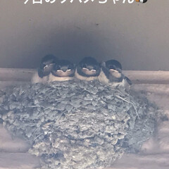 ツバメ 今日のツバメちゃん達🐧 あれっ4羽と思っ…