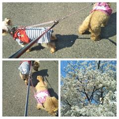 桜が満開/お散歩/LIMIAペット同好会/フォロー大歓迎/ペット/ペット仲間募集/... 綺麗な満開の桜の下お散歩🐕🐩 両者一歩も…
