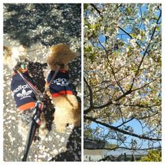 さくら/春のフォト投稿キャンペーン/LIMIAペット同好会/フォロー大歓迎/ペット/ペット仲間募集/... ご近所のお宅の立派な桜の木🌸 一週間前は…