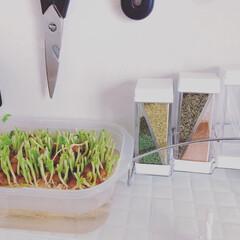 団地キッチン/団地/団地DIY/団地インテリア/キッチン収納/フォロー大歓迎/... 豆苗は、1回だけお水につけて栽培します↟…