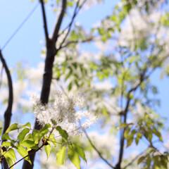 おうち自慢/ガーデニング/アオダモ/シンボルツリー/暮らし/住まい シンボルツリーは何ですか? 我が家のシン…