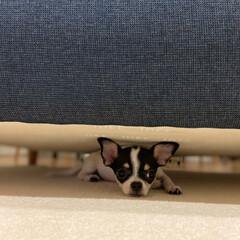 多頭飼い/スムースチワワ/チワワ あん(♀3ヶ月)はこのソファーの下が好き…