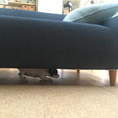 チワワ/多頭飼い/スムースチワワ あん(3ヶ月)はソファーの下にも入れちゃ…