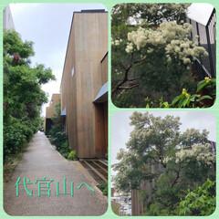 華/散歩/ウォーキング/おしゃれ/暮らし 雨の中代官山へ    この花は?満開! …