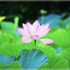 蓮の花/鎌倉/雨季ウキフォト投稿キャンペーン/フォロー大歓迎/お弁当/おでかけ/... *蓮の花*(1枚目)