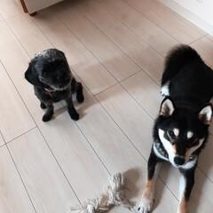黒柴/MIX犬/うちの子自慢