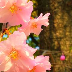 入学/おめでとう/春/🍘/桜 プチ花見🌸