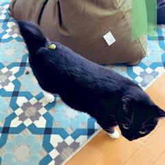 猫のいる家/黒猫/保護猫/こんぶ/猫のいる暮らし/秋/... どうやら気付かず動いているようです。  (1枚目)
