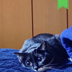 ペット/尻尾短い/保護猫/靴下猫/臆病ネコ/黒猫/... ケータイを落とされ、壊れました😭  新し…(2枚目)