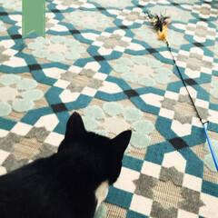 遊べって/会いたいよ〜/こんぶ/1歳1ヶ月/にゃん/猫のいる風景/... あな番みたいのにニャーニャーうるさくて…