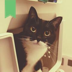 ネコと暮らしている/ねこと暮らす/猫と暮らす/いたずら猫/ねこ/臆病猫/... 洗濯物を入れるところが 飼い主の匂いなの…(1枚目)