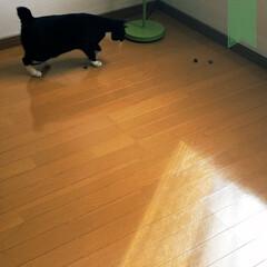 めんこい/小さい秋/小さい秋みつけた/秋/猫のいる暮らし/猫と部屋/... 人生初のドングリとの出会い。  急に躍動。(2枚目)