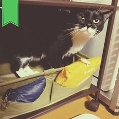 保護猫/くつしたねこ/靴下/こんぶ/臆病猫/ねこ/... 野菜ストッカーに自ら身を保存。